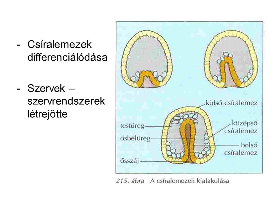 -Csíralemezek differenciálódása -Szervek – szervrendszerek létrejötte