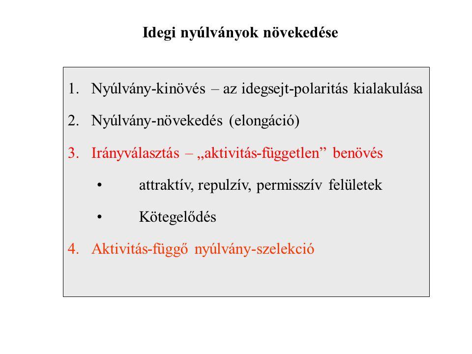 """Idegi nyúlványok növekedése 1.Nyúlvány-kinövés – az idegsejt-polaritás kialakulása 2.Nyúlvány-növekedés (elongáció) 3.Irányválasztás – """"aktivitás-független benövés attraktív, repulzív, permisszív felületek Kötegelődés 4.Aktivitás-függő nyúlvány-szelekció"""