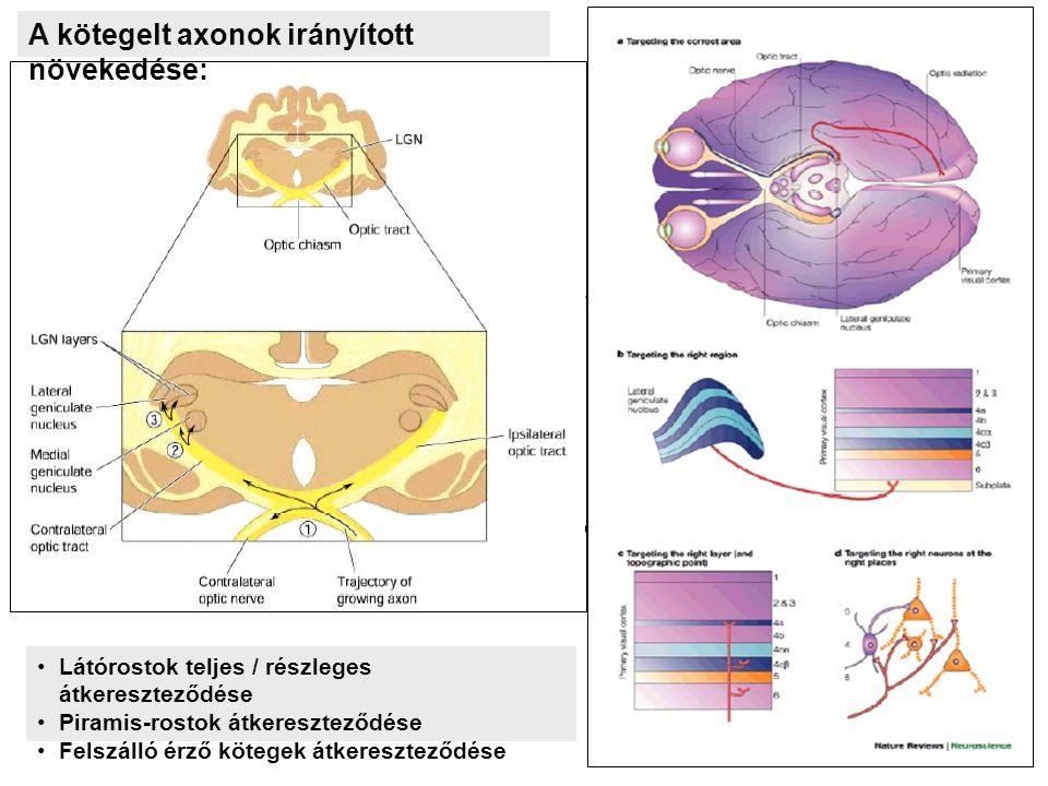A kötegelt axonok irányított növekedése: Látórostok teljes / részleges átkereszteződése Piramis-rostok átkereszteződése Felszálló érző kötegek átkereszteződése