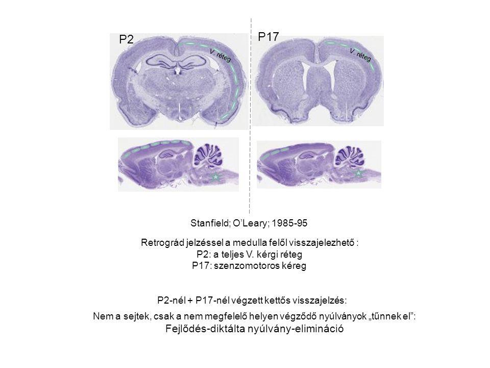 GAP-43: growth-associated protein: expresszió csökken a nyúlvány- növekedés csökkenésével, a stabilizáció kialakulásával Increased nerve branching and broadening of the innervation band in AChR γ -/- muscles.