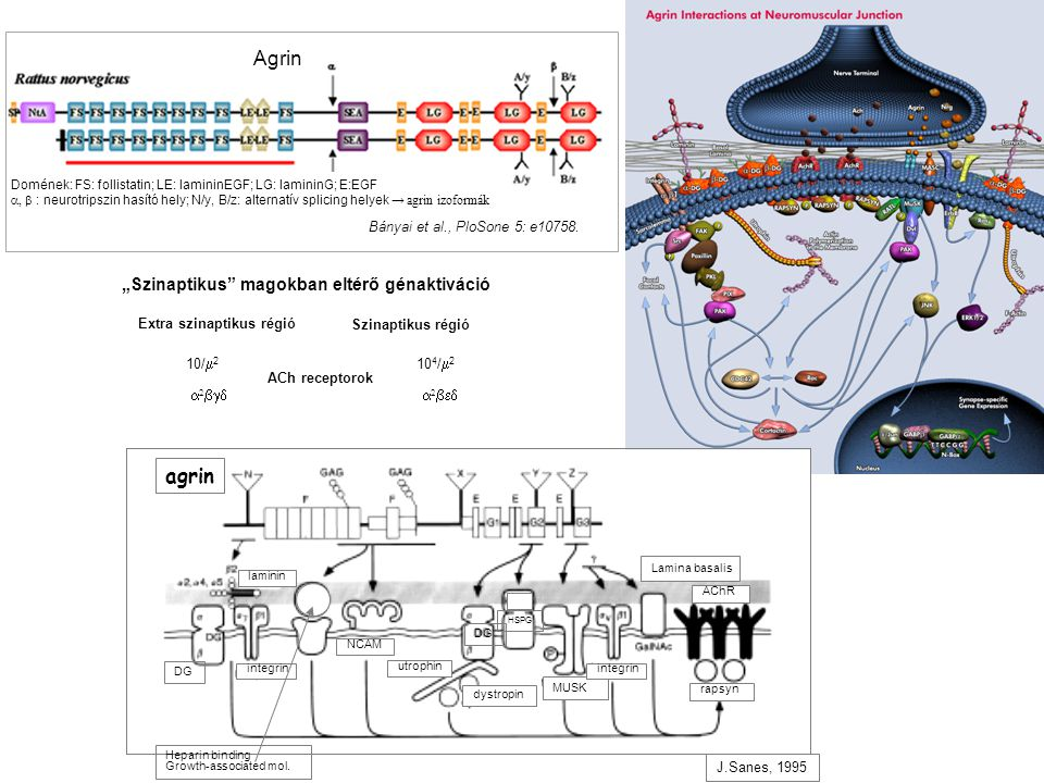J.Sanes, 1995 integrin DG Heparin binding Growth-associated mol.