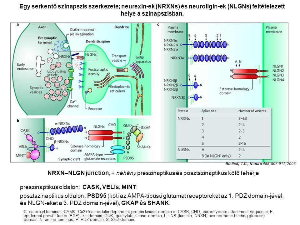 NRXN–NLGN junction, + néhány preszinaptikus és posztszinaptikus kötő fehérje preszinaptikus oldalon: CASK, VELIs, MINT; posztszinaptikus oldalon : PSD95 (köti az AMPA-típusú glutamat receptorokat az 1.