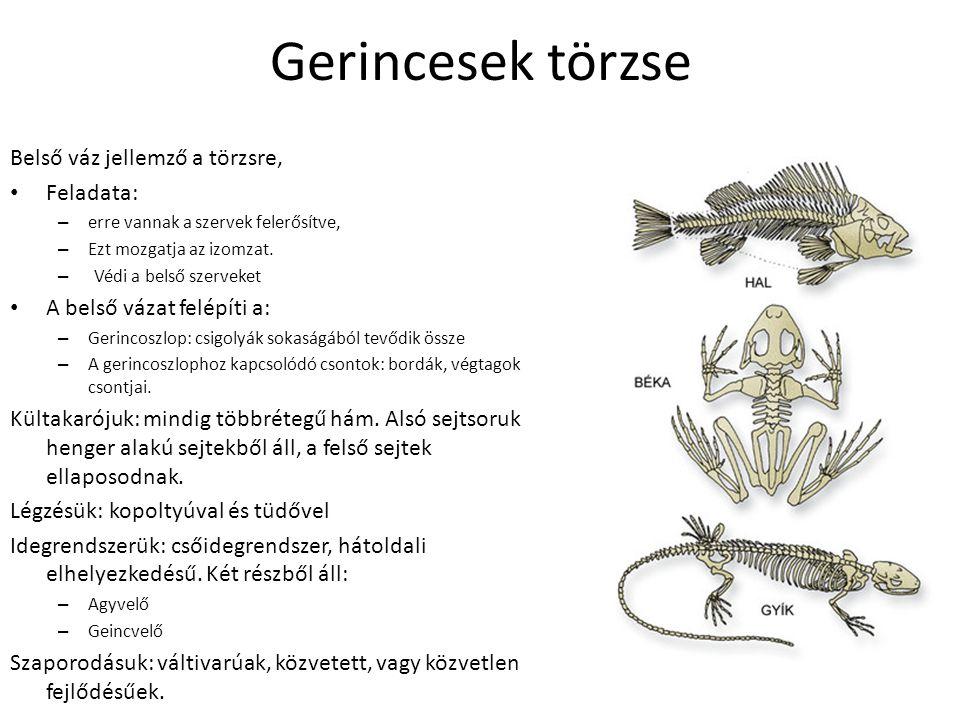 Halak osztályai:általános jellemzők Élőhelyük: víz (Nagy közegellenállás, áramvonalas test.) Testfelépítésük: faj, törzs, farok Kültakaró: mirigyekkel teli, átengedi a levegőt.
