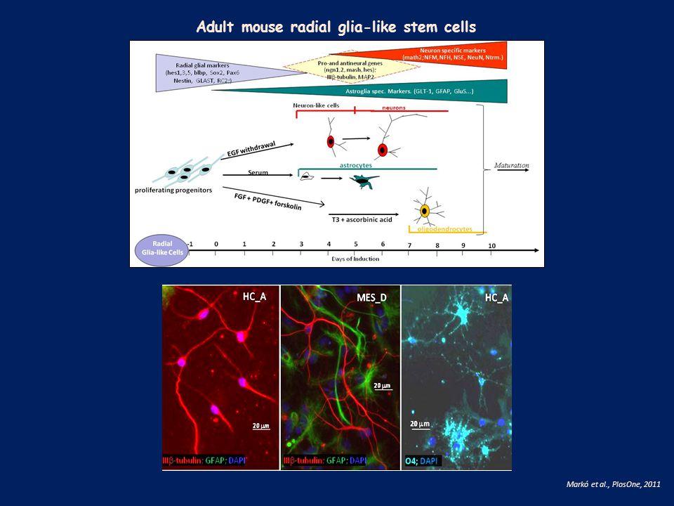 Adult mouse radial glia-like stem cells Markó et al., PlosOne, 2011