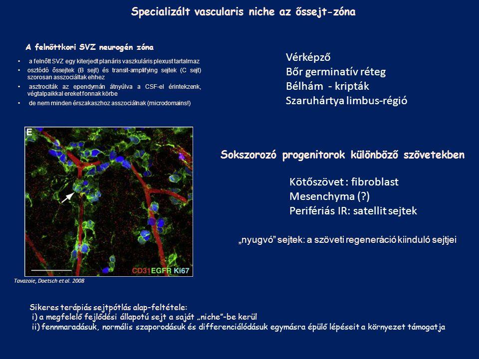 """Ős/progenitor sejt-környezet (""""niche ) Szövetenként, sejt-típusonként változó; összetételét ma kellő mértékben nem ismerjük A végdifferenciált szövetek nem biztosítanak normális túlélési, fejlődési lehetőségeket a saját, vagy kívülről bevitt, differenciálatlan őssejtek számára: a kompakt szervek sejtpótló terápiája ma kísérleti fázisban van; szakmai fejlesztést, etikai, törvényi szabályozást igényel Ős/progenitor sejtek Sajátságaik, leszármazásuk, fejlődési lehetőségeik nem tisztázottak Terápiás sejtpótlás: Őssejt-terápia regenerációt segítő hatásai: Gyulladást gátló faktorok Sejt-túlélést, differenciálódást segítő növekedési faktorok"""
