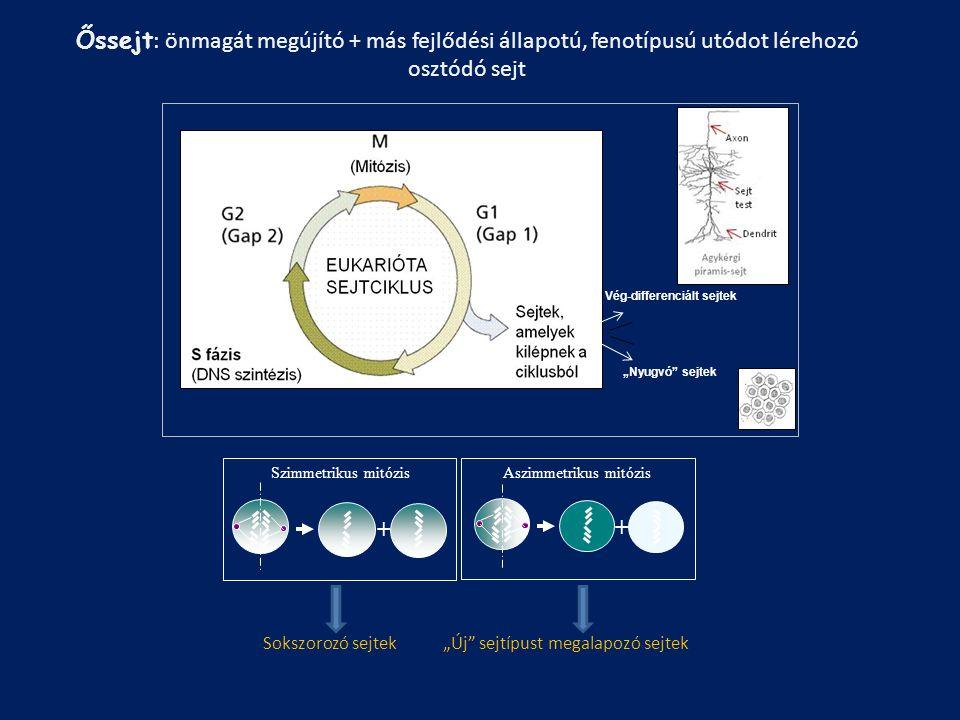 Őssejt : önmagát megújító + más fejlődési állapotú, fenotípusú utódot lérehozó osztódó sejt Szimmetrikus mitózis + Aszimmetrikus mitózis + Sokszorozó