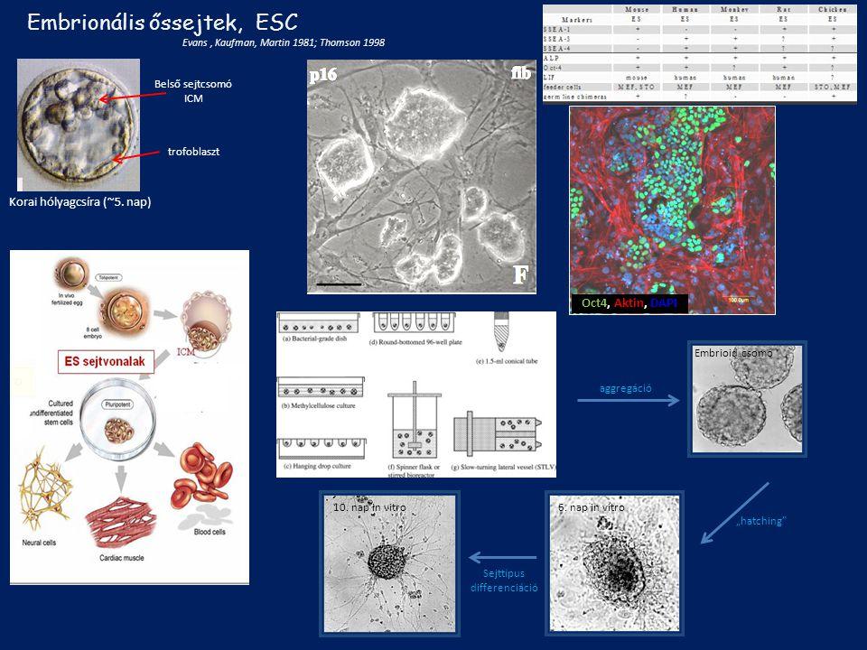 3.5 days old chimera embryo 1.GFB/B2 ES cell line aggregation ES cell chimera chimera new-borns Chimaera-állatok ES sejtek beépítésével Gócza Elen munkája Csíra-vonalba beépült génhordozó sejtek Transzgenikus állatok JAX ® Mice Strains