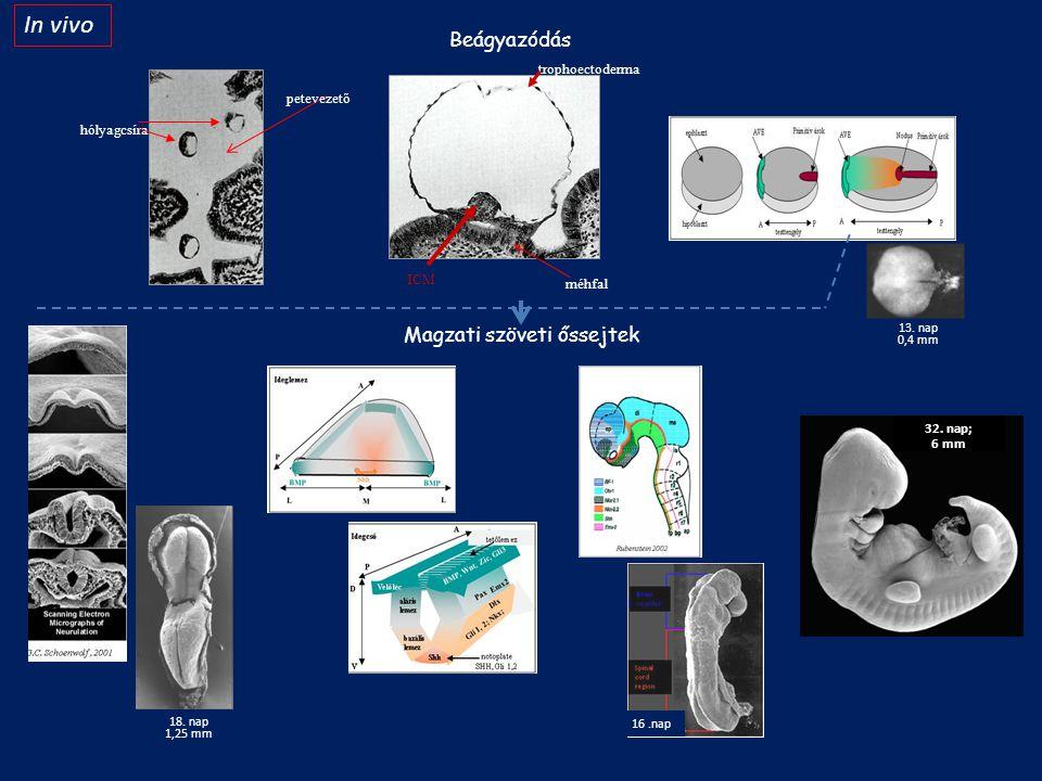 trophoectoderma ICM méhfal 13. nap 0,4 mm 18. nap 1,25 mm 32. nap; 6 mm Magzati szöveti őssejtek hólyagcsíra petevezető In vivo Beágyazódás 16.nap
