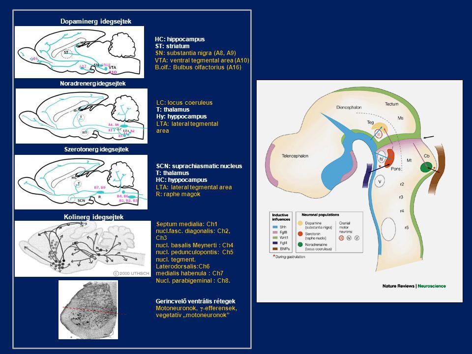 LC: locus coeruleus T: thalamus Hy: hyppocampus LTA: lateral tegmental area HC: hippocampus ST: striatum SN: substantia nigra (A8, A9) VTA: ventral te