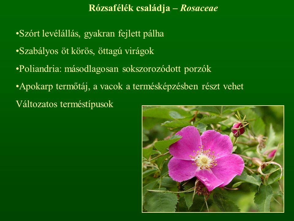 Rózsafélék családja – Rosaceae Szórt levélállás, gyakran fejlett pálha Szabályos öt körös, öttagú virágok Poliandria: másodlagosan sokszorozódott porz