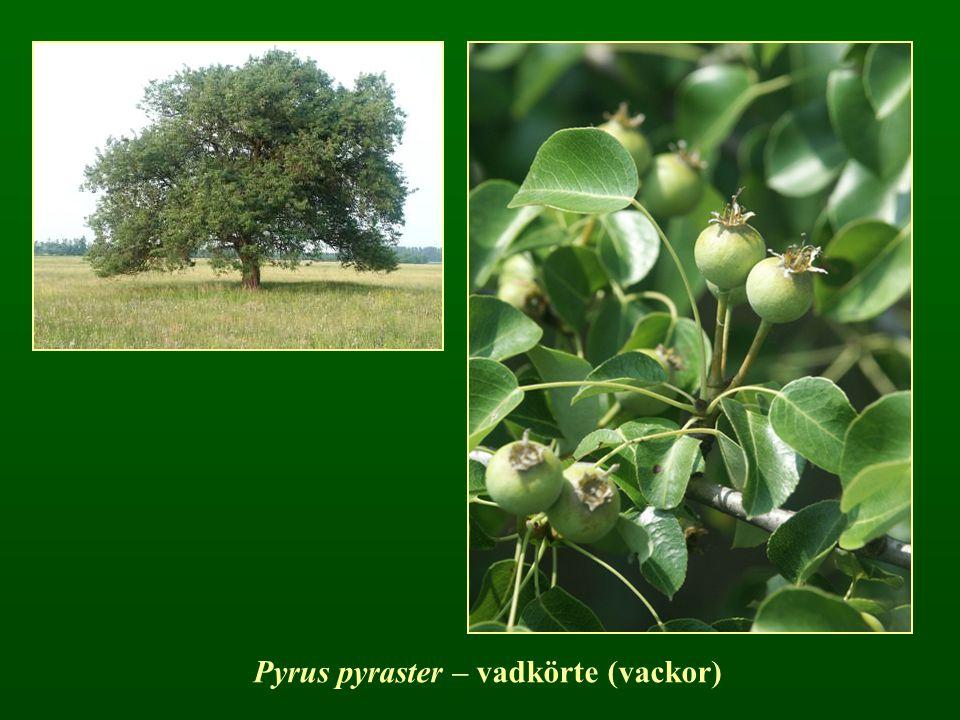 Pyrus pyraster – vadkörte (vackor)