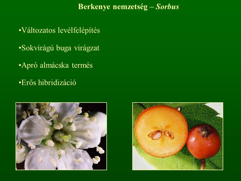 Berkenye nemzetség – Sorbus Változatos levélfelépítés Sokvirágú buga virágzat Apró almácska termés Erős hibridizáció