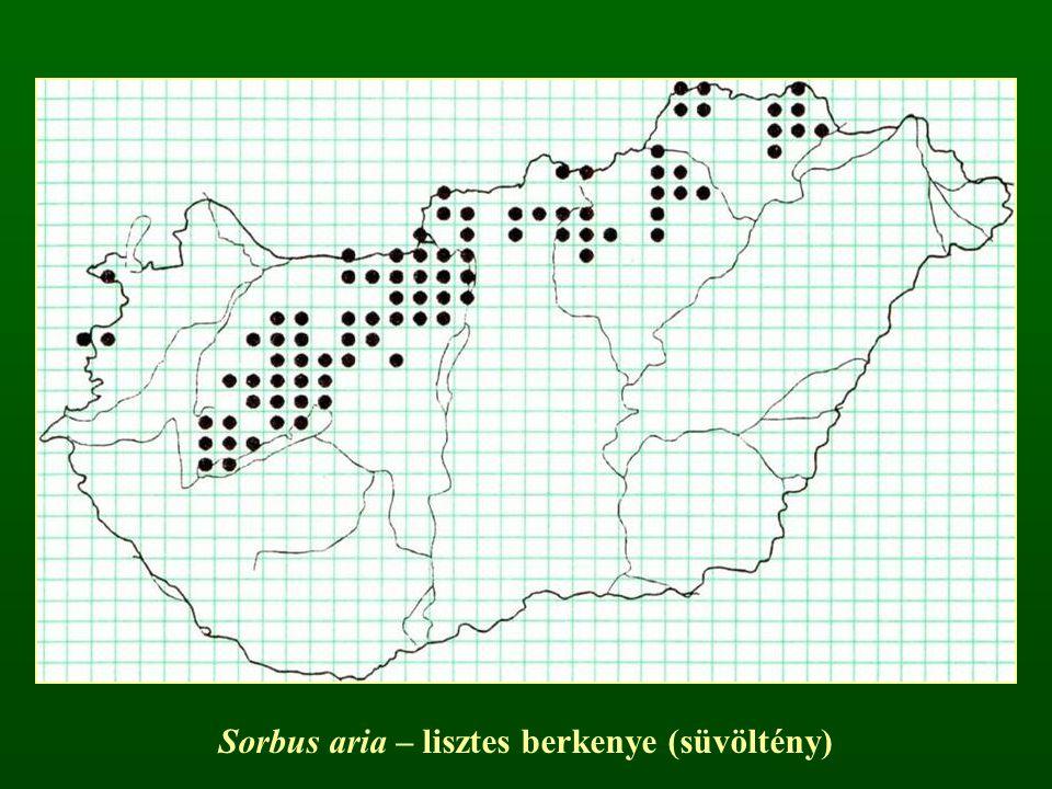 Sorbus aria – lisztes berkenye (süvöltény)