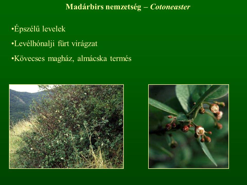 Madárbirs nemzetség – Cotoneaster Épszélű levelek Levélhónalji fürt virágzat Kövecses magház, almácska termés