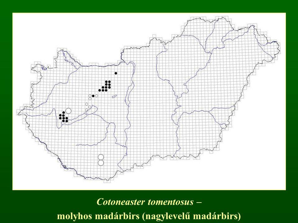 Cotoneaster tomentosus – molyhos madárbirs (nagylevelű madárbirs)