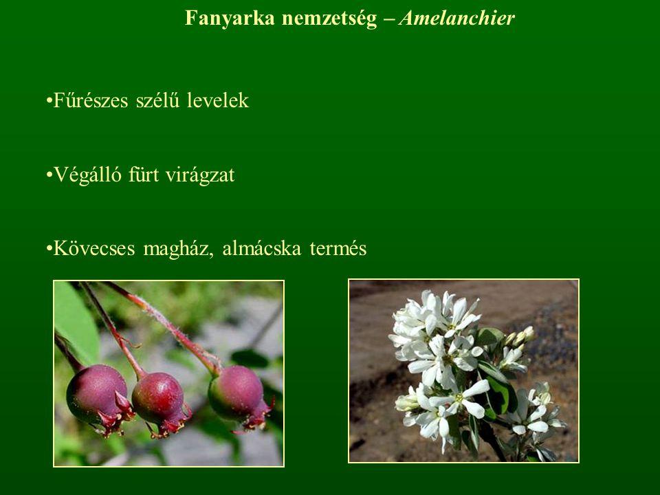 Fanyarka nemzetség – Amelanchier Fűrészes szélű levelek Végálló fürt virágzat Kövecses magház, almácska termés