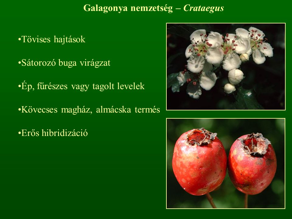 Galagonya nemzetség – Crataegus Tövises hajtások Sátorozó buga virágzat Ép, fűrészes vagy tagolt levelek Kövecses magház, almácska termés Erős hibridi