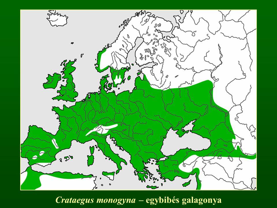 Crataegus monogyna – egybibés galagonya