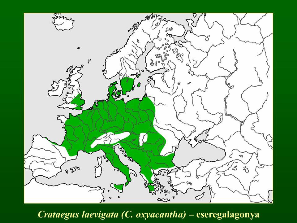 Crataegus laevigata (C. oxyacantha) – cseregalagonya