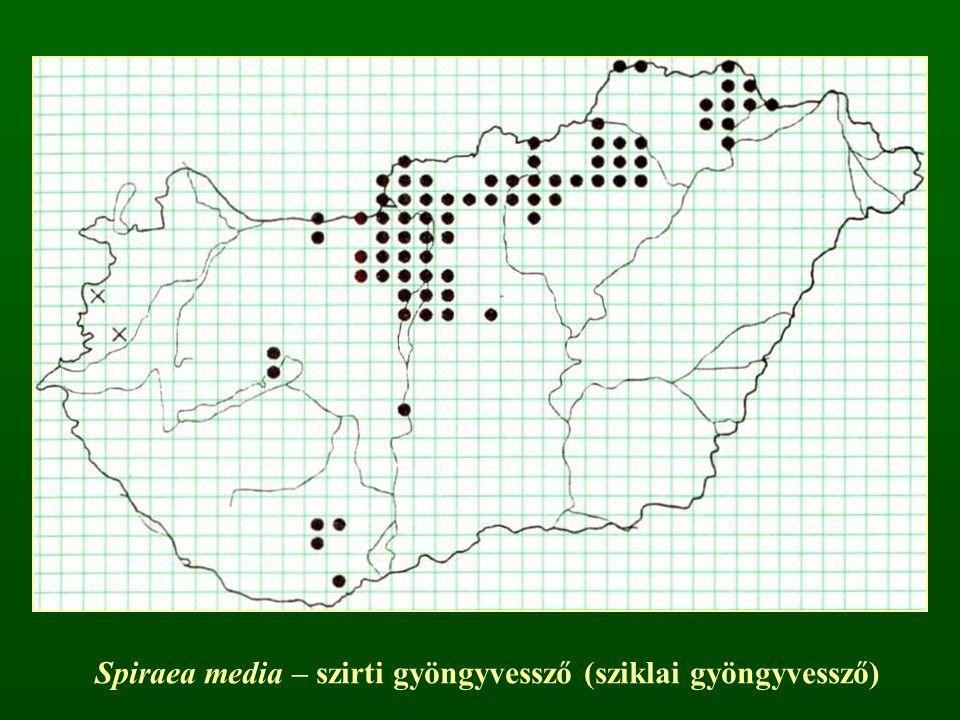 Spiraea media – szirti gyöngyvessző (sziklai gyöngyvessző)