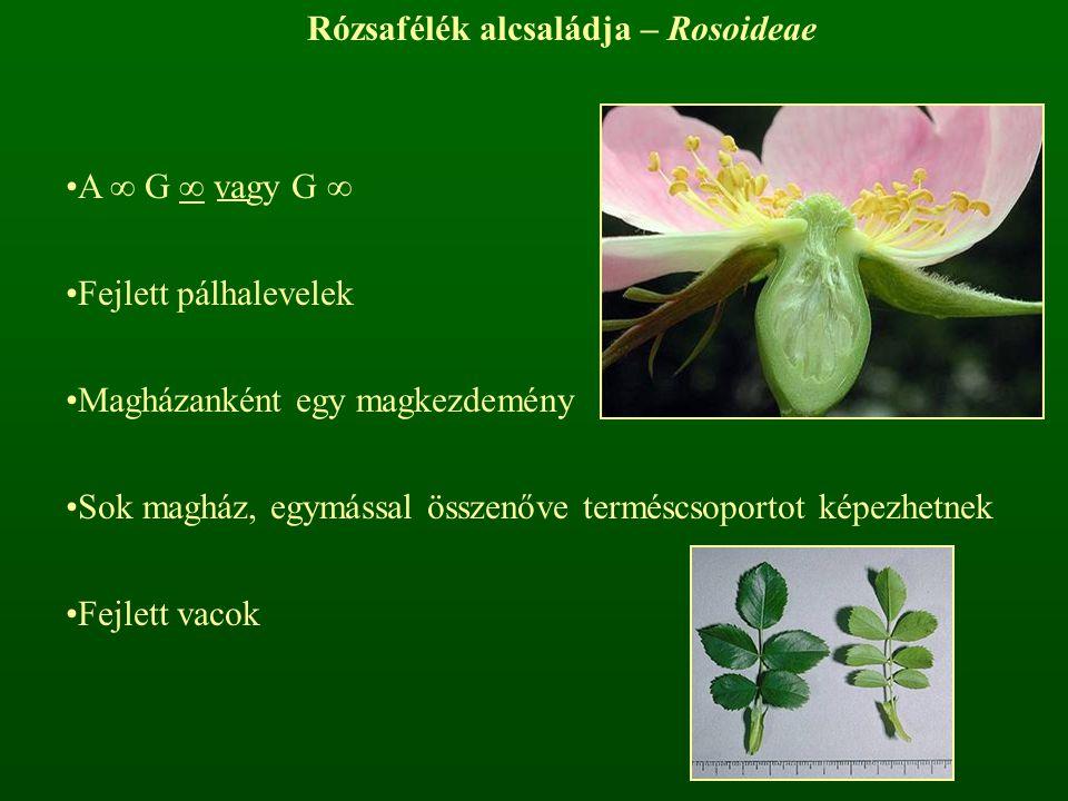 Rózsafélék alcsaládja – Rosoideae A ∞ G ∞ vagy G ∞ Fejlett pálhalevelek Magházanként egy magkezdemény Sok magház, egymással összenőve terméscsoportot