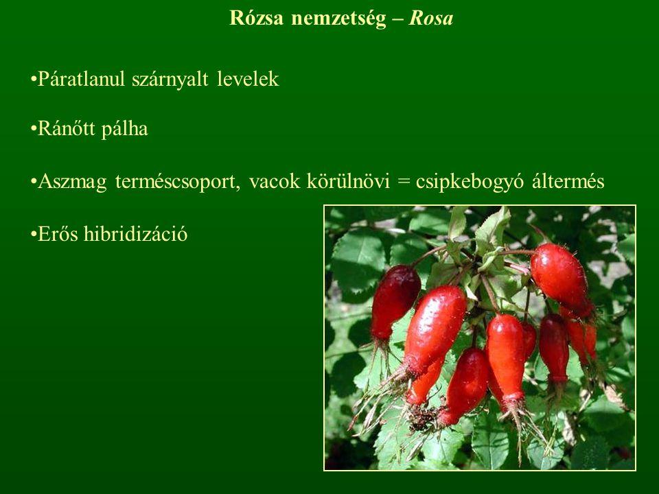 Rózsa nemzetség – Rosa Páratlanul szárnyalt levelek Ránőtt pálha Aszmag terméscsoport, vacok körülnövi = csipkebogyó áltermés Erős hibridizáció