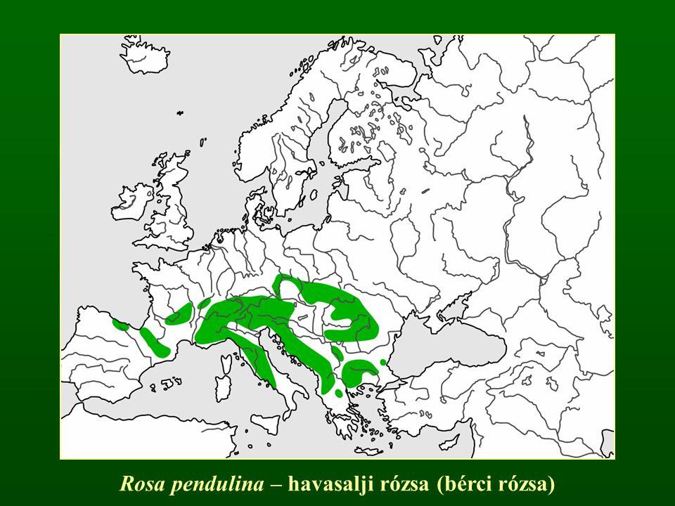 Rosa pendulina – havasalji rózsa (bérci rózsa)