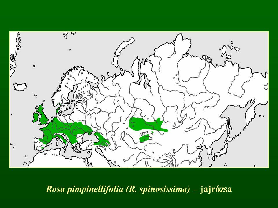 Rosa pimpinellifolia (R. spinosissima) – jajrózsa