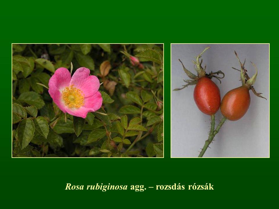 Rosa rubiginosa agg. – rozsdás rózsák