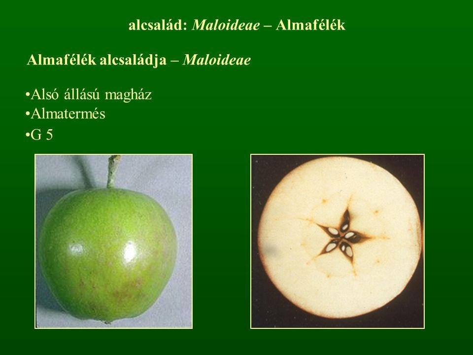 alcsalád: Maloideae – Almafélék Almafélék alcsaládja – Maloideae Alsó állású magház Almatermés G 5