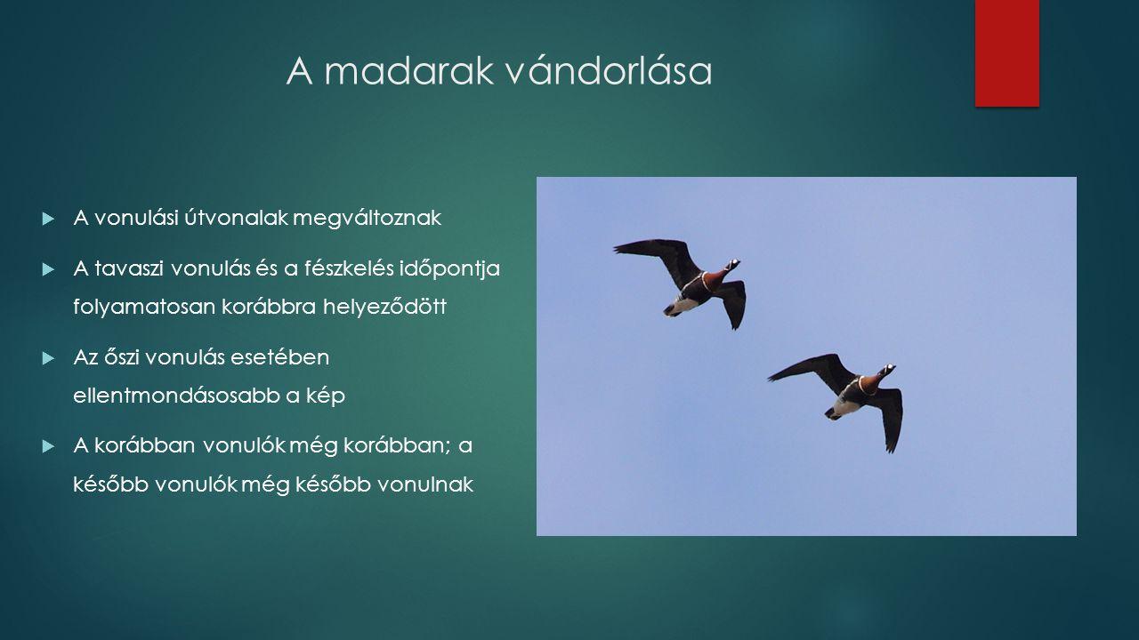 A madarak vándorlása  A vonulási útvonalak megváltoznak  A tavaszi vonulás és a fészkelés időpontja folyamatosan korábbra helyeződött  Az őszi vonulás esetében ellentmondásosabb a kép  A korábban vonulók még korábban; a később vonulók még később vonulnak