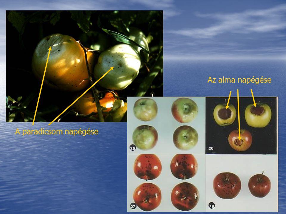 A paradicsom napégése Az alma napégése