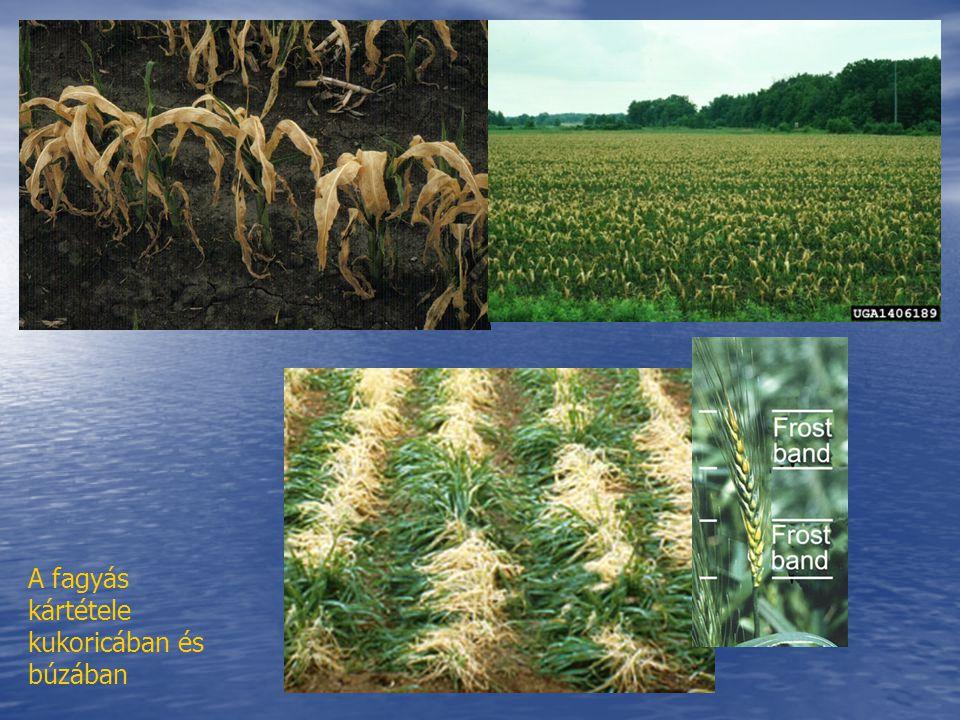 A fagyás kártétele kukoricában és búzában
