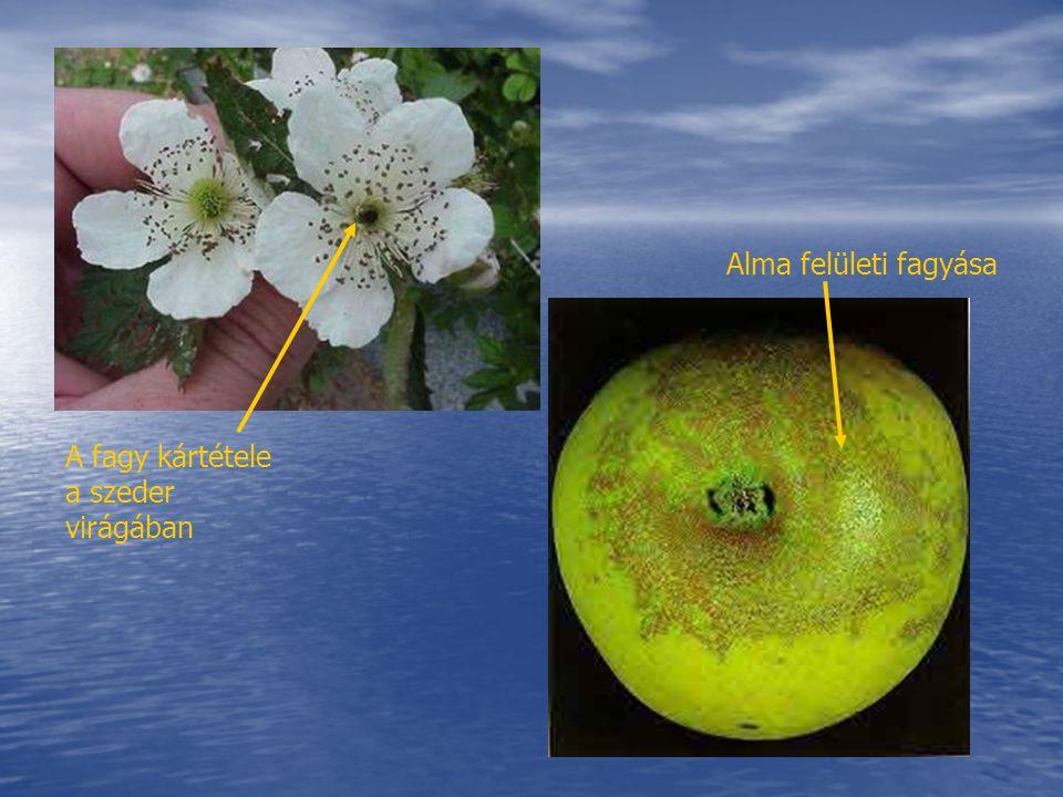 A fagy kártétele a szeder virágában Alma felületi fagyása