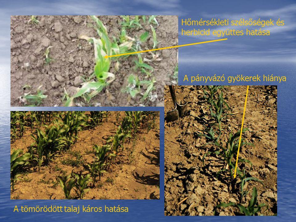 Hőmérsékleti szélsőségek és herbicid együttes hatása A pányvázó gyökerek hiánya A tömörödött talaj káros hatása