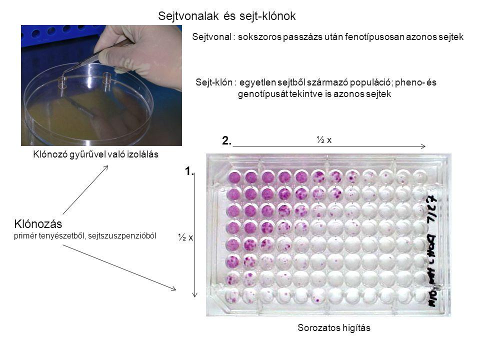Sejtvonalak és sejt-klónok Klónozó gyűrűvel való izolálás Sorozatos higítás ½ x 1. 2. Sejtvonal : sokszoros passzázs után fenotípusosan azonos sejtek