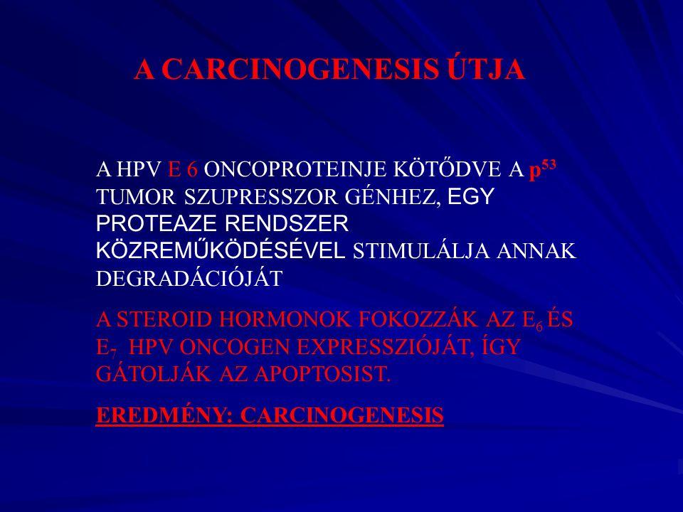 A CARCINOGENESIS ÚTJA A HPV E 6 ONCOPROTEINJE KÖTŐDVE A p 53 TUMOR SZUPRESSZOR GÉNHEZ, EGY PROTEAZE RENDSZER KÖZREMŰKÖDÉSÉVEL STIMULÁLJA ANNAK DEGRADÁ