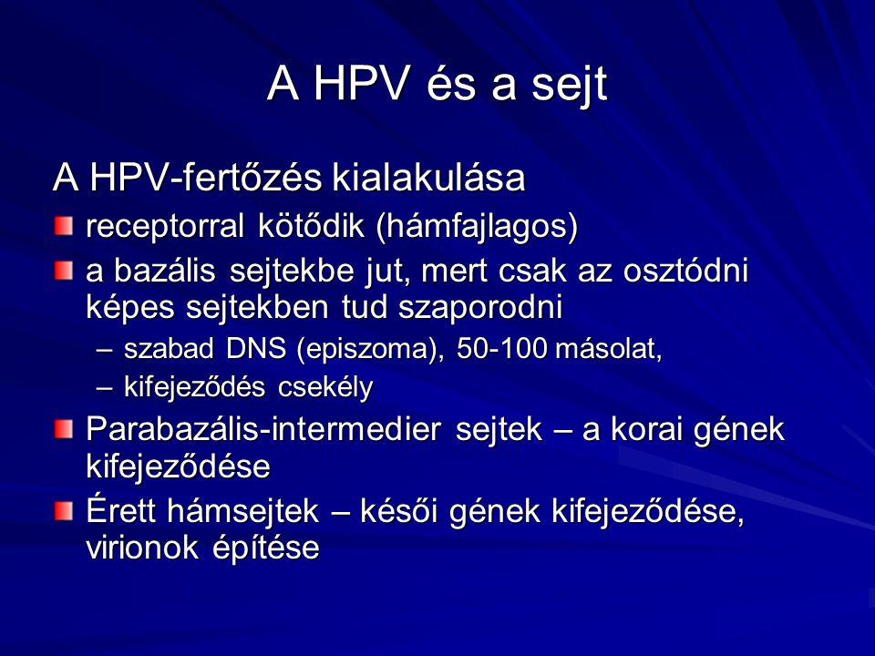 A HPV és a sejt A HPV-fertőzés kialakulása receptorral kötődik (hámfajlagos) a bazális sejtekbe jut, mert csak az osztódni képes sejtekben tud szaporo