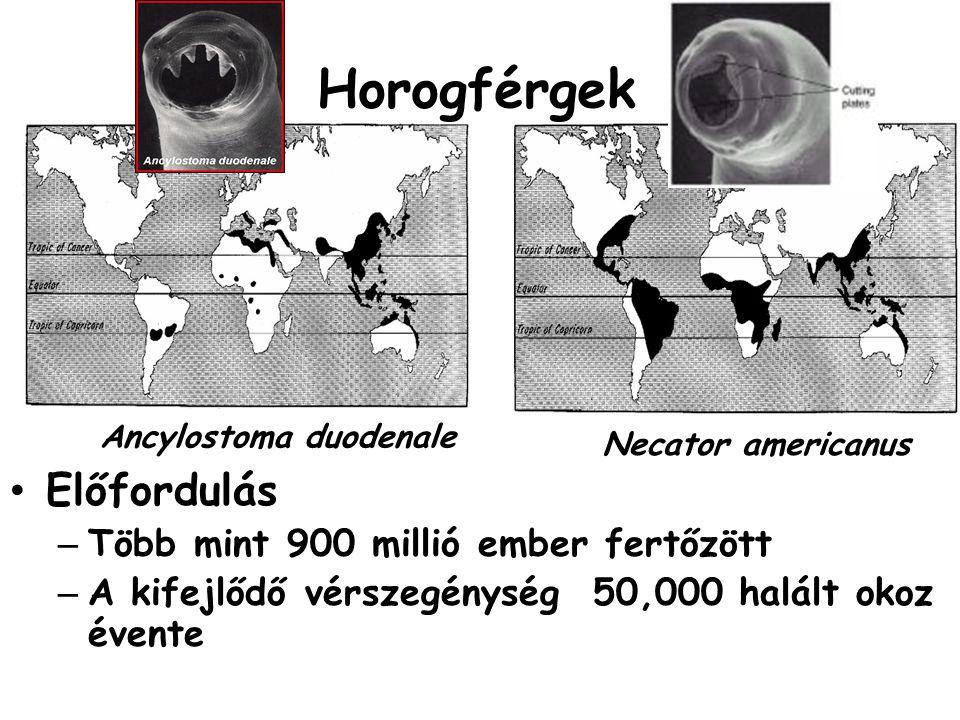 Előfordulás – Több mint 900 millió ember fertőzött – A kifejlődő vérszegénység 50,000 halált okoz évente Ancylostoma duodenale Necator americanus Horo