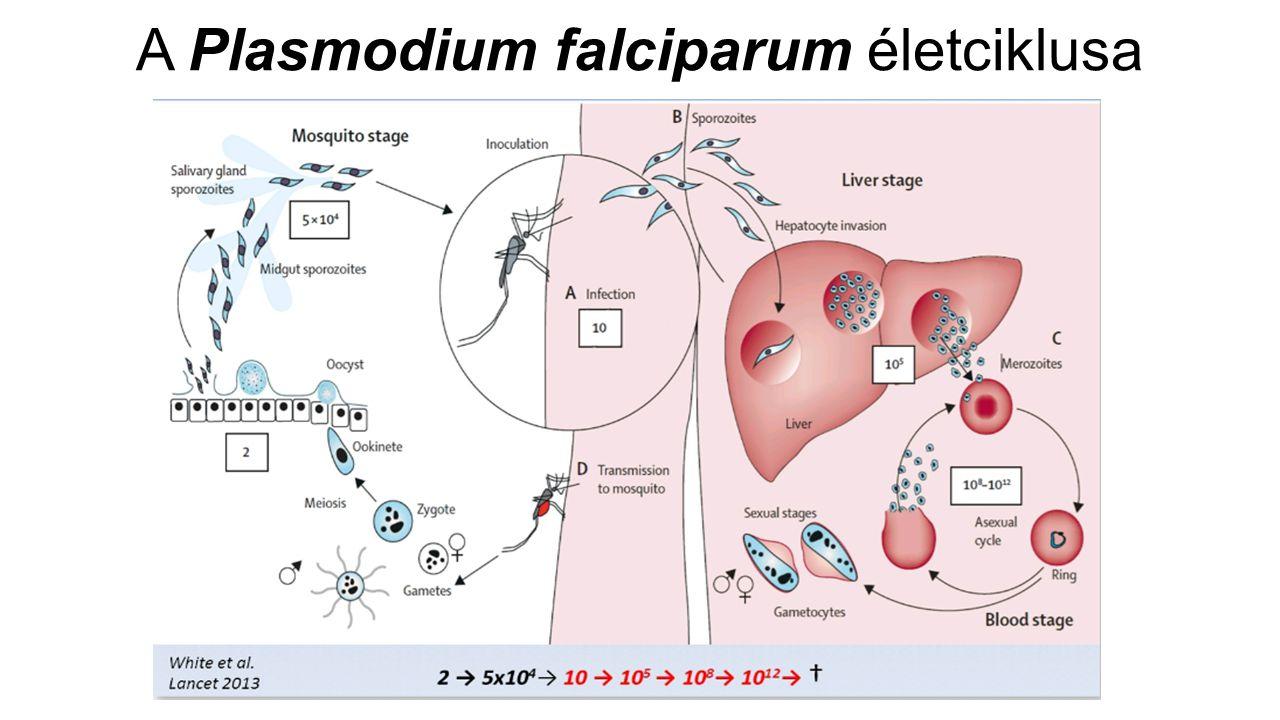 A Plasmodium falciparum életciklusa