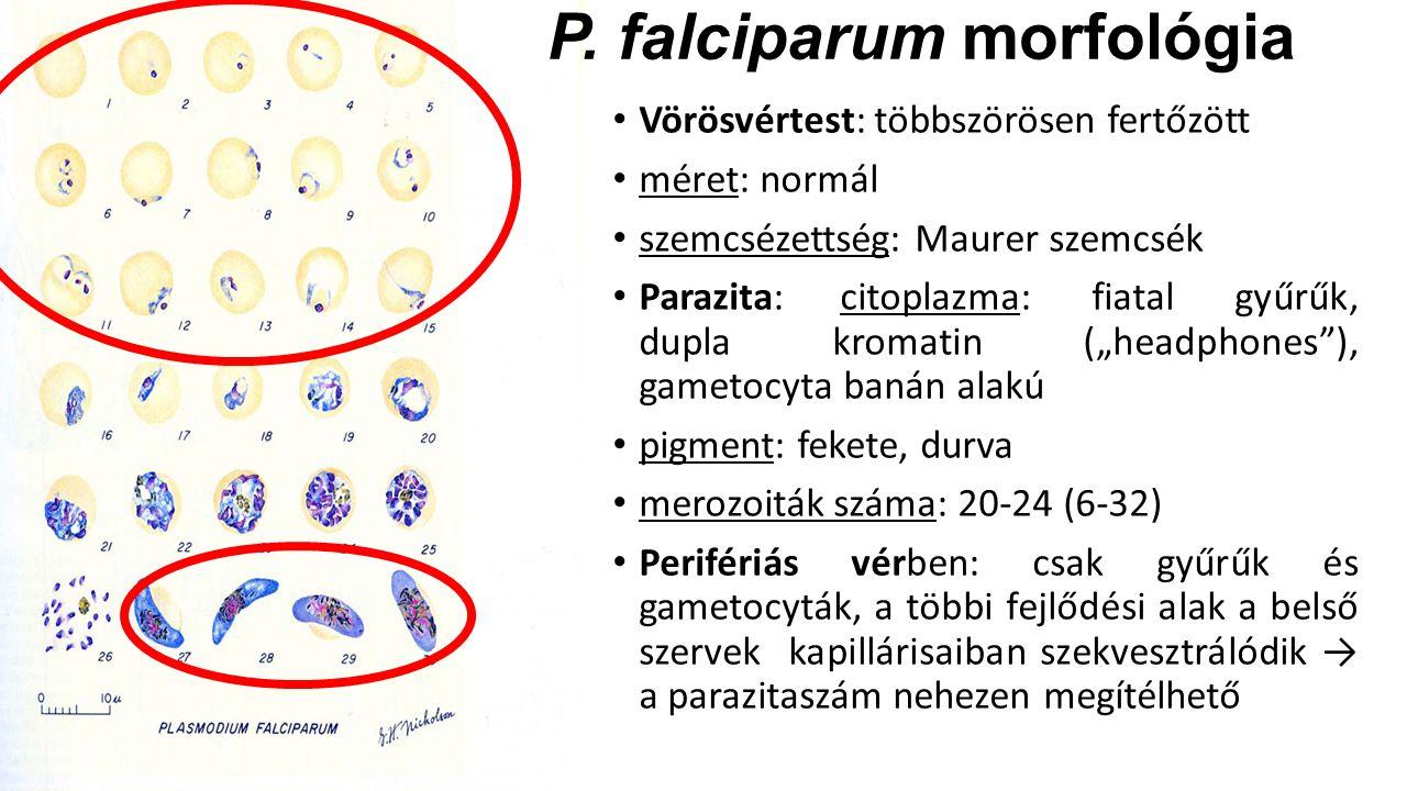 P. falciparum morfológia Vörösvértest: többszörösen fertőzött méret: normál szemcsézettség: Maurer szemcsék Parazita: citoplazma: fiatal gyűrűk, dupla