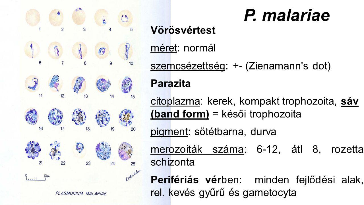 P. malariae Vörösvértest méret: normál szemcsézettség: +- (Zienamann's dot) Parazita citoplazma: kerek, kompakt trophozoita, sáv (band form) = késői t