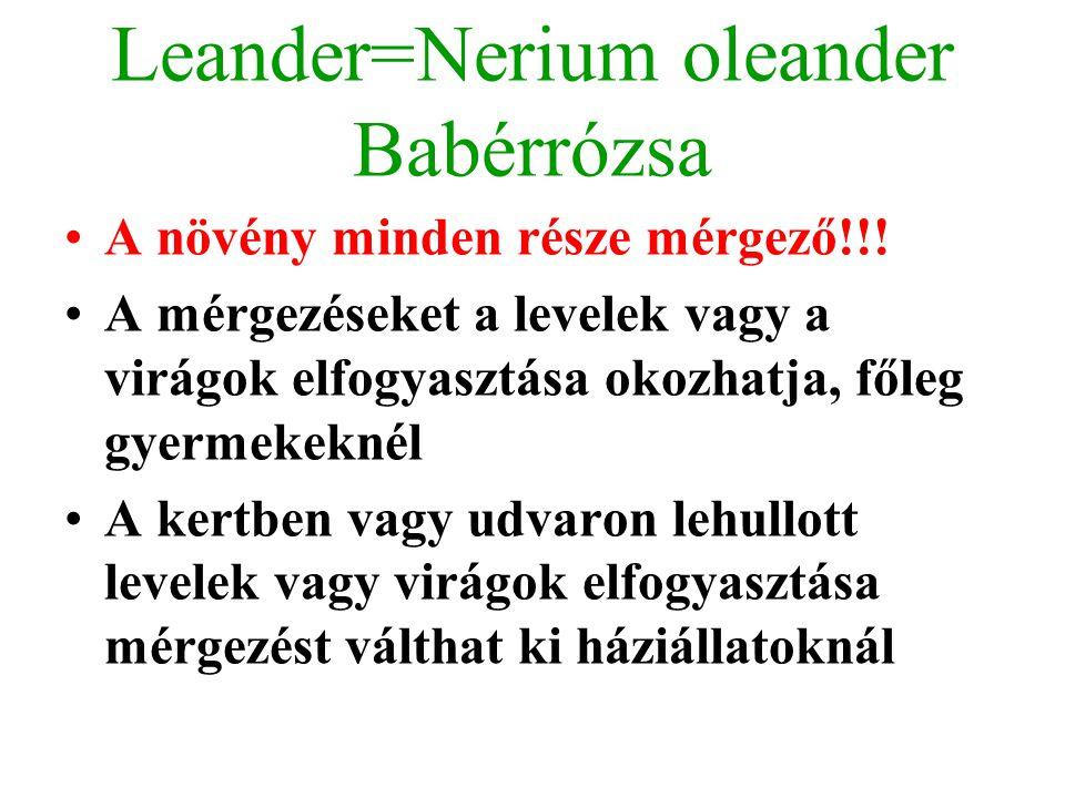 Leander=Nerium oleander Babérrózsa A növény minden része mérgező!!! A mérgezéseket a levelek vagy a virágok elfogyasztása okozhatja, főleg gyermekekné