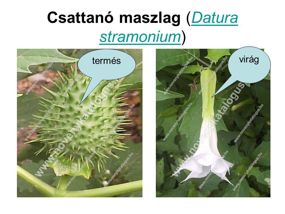 Csattanó maszlag (Datura stramonium)Datura stramonium termés virág