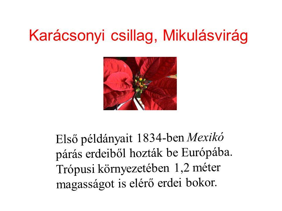 Karácsonyi csillag, Mikulásvirág Első példányait 1834-ben Mexikó párás erdeiből hozták be Európába. Trópusi környezetében 1,2 méter magasságot is elér