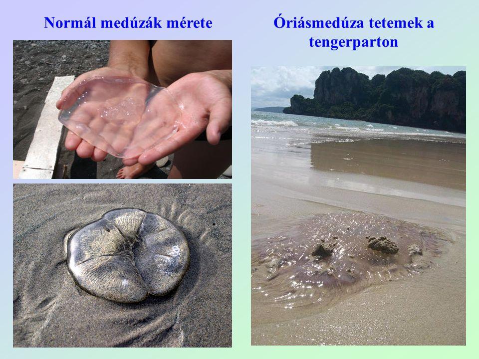 Óriásmedúza tetemek a tengerparton Normál medúzák mérete