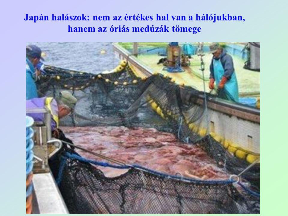Japán halászok: nem az értékes hal van a hálójukban, hanem az óriás medúzák tömege