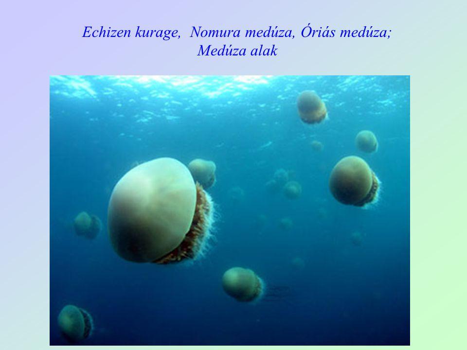 Csalánozók törzse, Cnidaria Hidraállatok osztálya, Hydrazoa Echizen kurage, Nomura medúza, Óriás medúza a testtömeg 96 % víz Két sejtréteg ekto- és entoderma Egyrétegű hengerhám borítja Táplálkozás : ragadozók, többségében plankton evők, de kisebb, nagyobb halakat is elejthetnek csalánsejtjeik segítségével Az emésztés az egynyílású űrbélben (gasztrodermisz) történik Szórt, diffúz idegrendszer Lehetnek váltivarúak vagy hímnősek