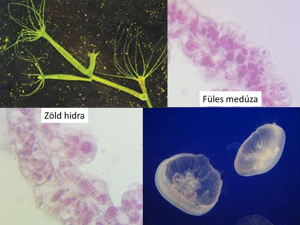 Zöld hidra Füles medúza
