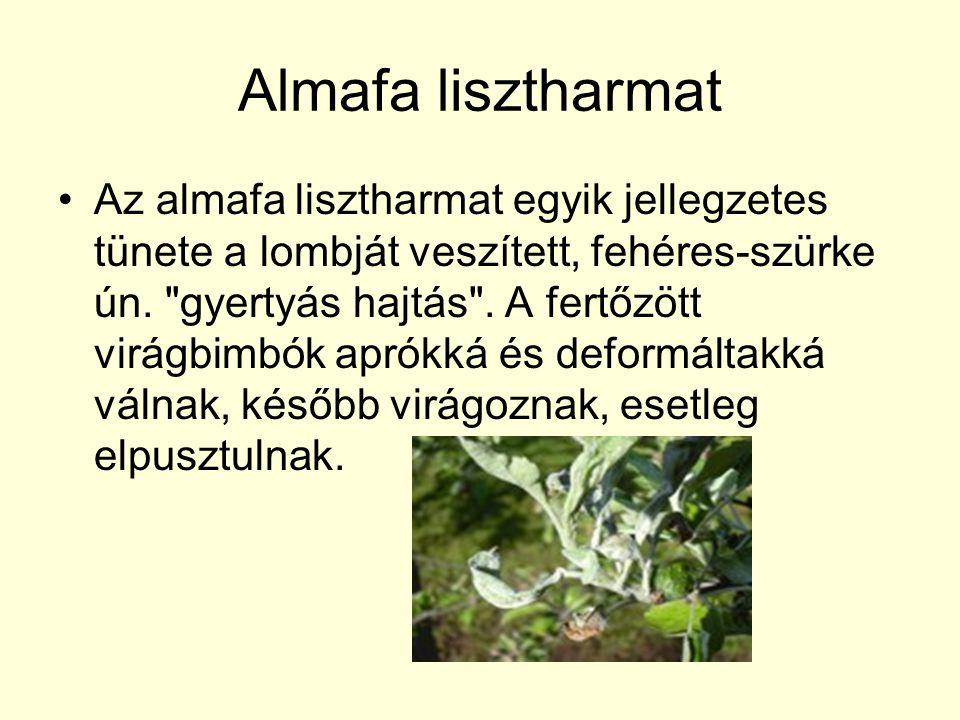 Almafa lisztharmat Az almafa lisztharmat egyik jellegzetes tünete a lombját veszített, fehéres-szürke ún.